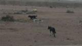 الكلاب تلتهم  أمين شرطة بصحراء أكتوبر